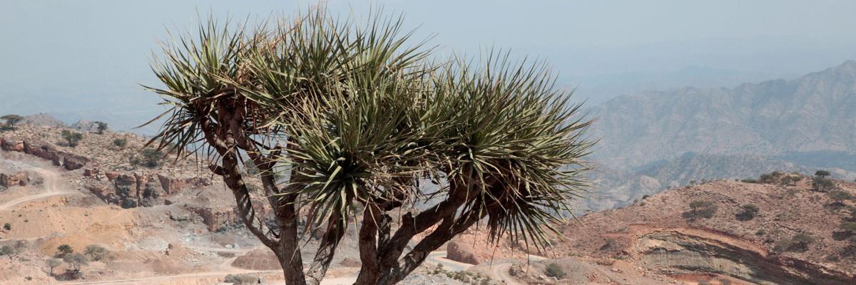 Tree in desert, Ethiopia